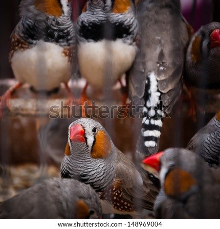 Colorful finch zebra birds in cage at bird market in Paris. Shadowed angles. - stock photo