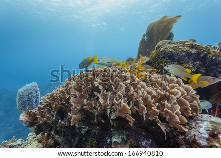 Colorful fish swim in coral on barrier reef in Hol Chan Marine Reserve Belize - stock photo