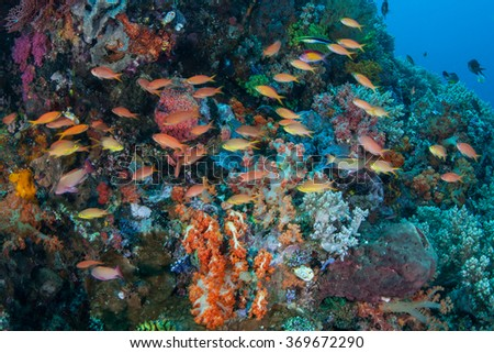 Colorful fish swim over a healthy, current-swept reef in Indonesia. This part of the world harbors extraordinary marine biodiversity. - stock photo