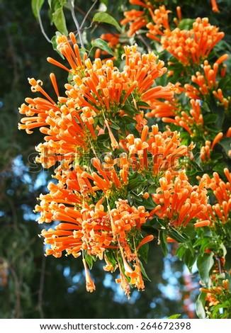 colorful flame orange color flowers of Pyrostegia venusta, Orange trumpet, genus Pyrostegia, family Bignoniaceae blooming on a fence in tropical zone and THAILAND - stock photo