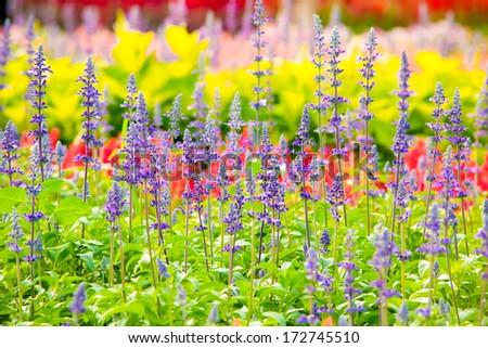 Colorful flower in garden,  Bangkok Thailand - stock photo