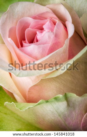 Colorful flower rose