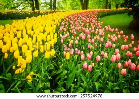 colorful flowerbed  - tulip stripes in Keukenhof garden, Holland, retro toned - stock photo