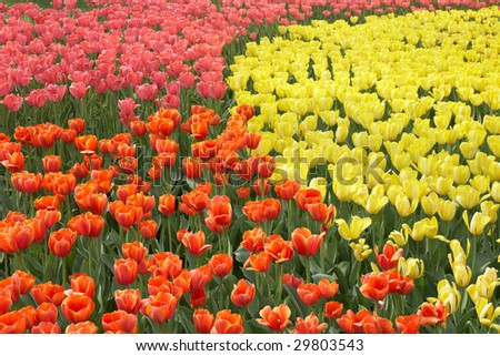 colorful flowerbed with tulips