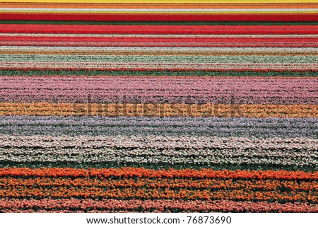 Colorful flowerfield in Holland