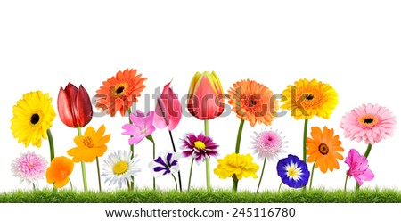Colorful Flowers Growing in the Grass Isolated on White Isolated on White Background. Vibrant Red, Blue, Pink, Purple, Yellow White, and Orange Colors. Dahlia, Marigold and other wildflowers - stock photo