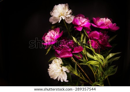 Colorful flowers on black background - colorful peonies - stock photo