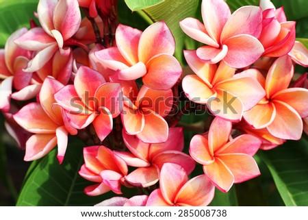 colorful frangiapani flower - stock photo