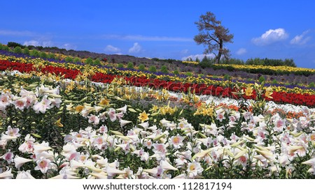 Colorful Furano flower field,Hokkaido, Japan - stock photo