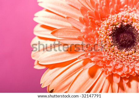 colorful gerbera daisy flower