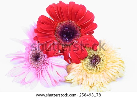 Colorful gerbera flower isolated on white background