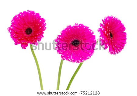 colorful gerberas on white background - stock photo