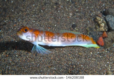 Colorful goby fish under water, Tulamben, Bali. - stock photo