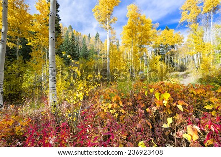 Colorful golden aspens and reddish-orange thimbleberry leaves pictured against a crisp fall sky  - stock photo