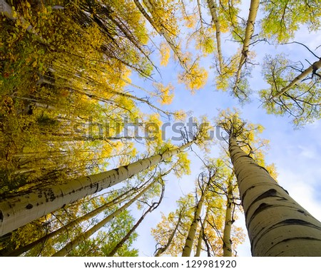 Colorful golden aspens pictured against a bright blue sky in autumn - stock photo