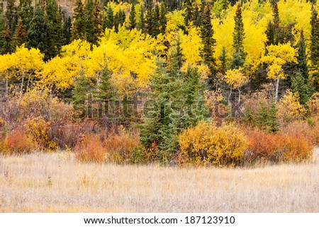 Colorful golden yellow autumn fall boreal forest taiga tree vegetation, Yukon Territory, Canada - stock photo