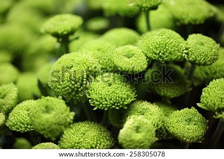 colorful green chrysanthemum background - stock photo