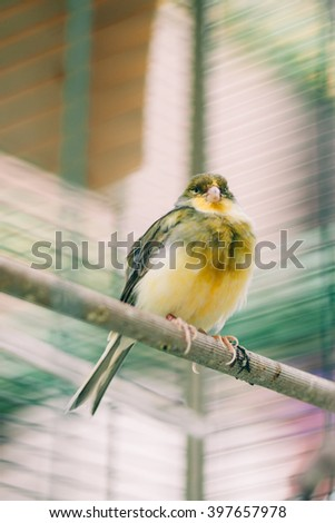 Colorful green finch bird inside in a cage - stock photo