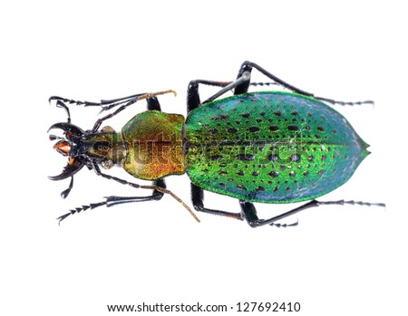 Colorful ground beetle isolated - stock photo