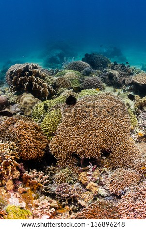 Colorful hard corals on a shallow water tropical coral reef - stock photo
