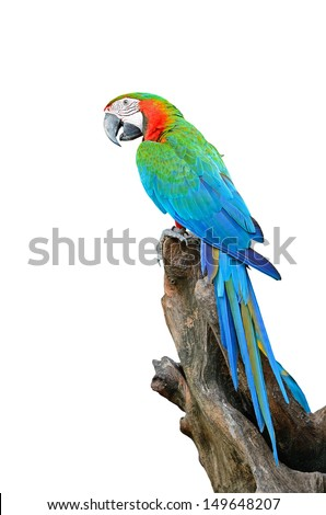Colorful Harlequin Macaw aviary, back profile, isolated on white