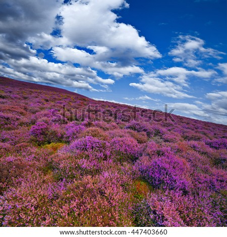 Colorful hill slope covered by violet heather flowers. Pentland hills, Scotland - stock photo