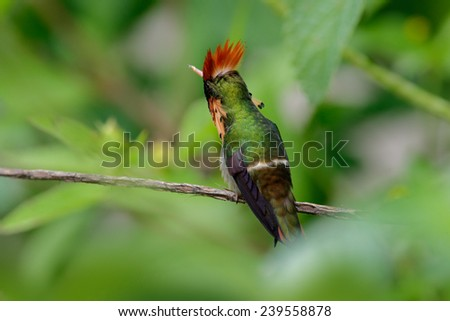 Colorful hummingbird Tufted Coquette from Trinidad sitting on the green branch - stock photo