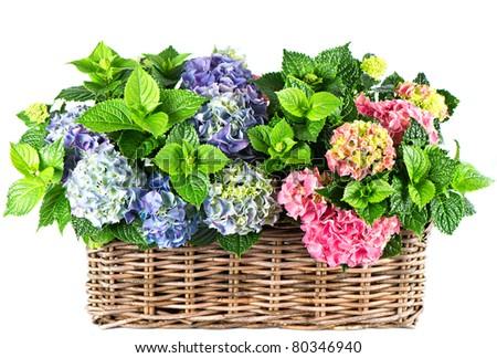 colorful hydrangea bushes. beautiful hortensia on white background - stock photo