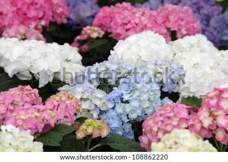 colorful hydrangea flower. - stock photo