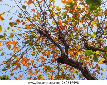 Colorful Indian almond tree - stock photo