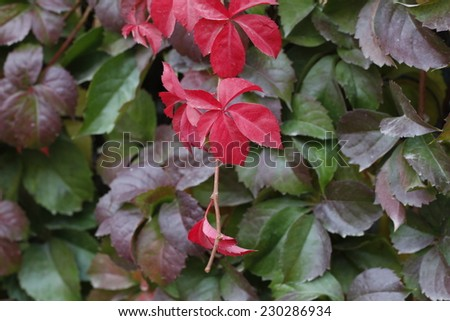 Colorful ivy background. Red, green and orange leaves of a Japanese Creeper or parthenocissus tricuspidata veitchii in autumn framing. / Boston Ivy on a wall.  - stock photo
