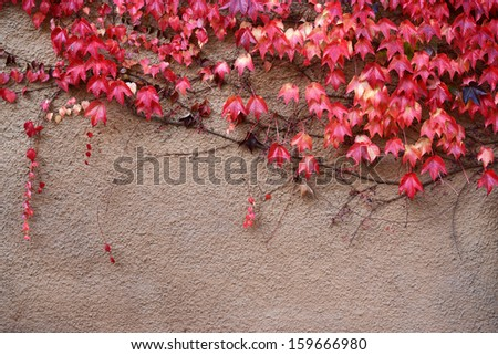 Colorful ivy on the wall in autumn - stock photo