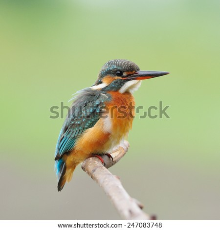 Colorful Kingfisher bird, female Common Kingfisher (Alcedo athis), standing on a branch - stock photo