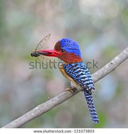 Colorful Kingfisher, female Banded Kingfisher (Lacedo pulchella) with skink on the branch