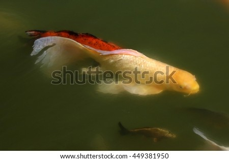 Colorful Koi in a pond - stock photo