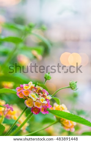 colorful Lan-tana flowers with buds and leaves