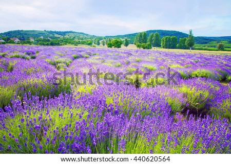 Colorful lavender field in Hungary near Tihany