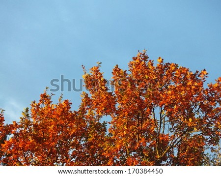 colorful leaves of oak tree in autumn