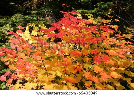 Colorful leaves on a maple tree