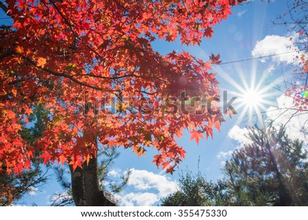 Colorful leaves on maple tree in garden in autumn season with bright sky - stock photo