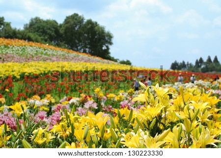 Colorful lilies in Yoshizawa