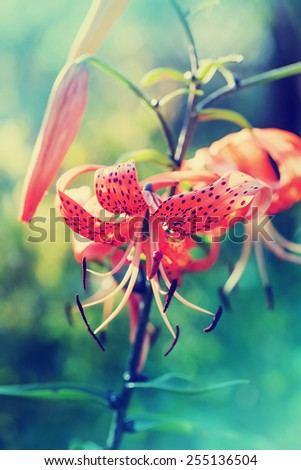 Colorful Lily Flowers opendoor/Toned picture - stock photo
