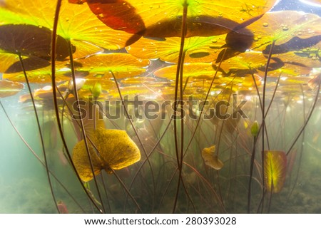 Colorful lily pads grow in the shallows of a freshwater pond in Cape Cod, Massachusetts. Aquatic vegetation flourishes during summer months when there is plenty of sunlight and warm temperatures. - stock photo