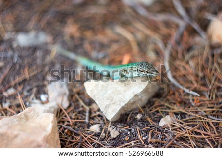 Colorful lizard on little rock, with blurred background in Ibiza, Spain.