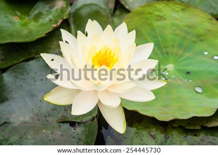 Colorful Lotus Flower  - stock photo
