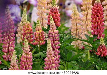 Colorful lupine flowers in a garden. Selective focus. - stock photo