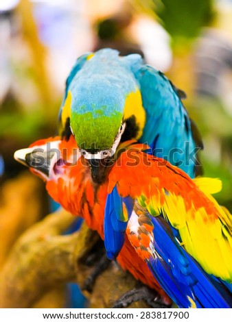 colorful macaw birds - stock photo