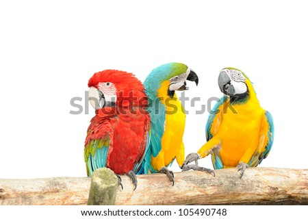 Colorful macaws isolated in white background, Macaws are members of the parrot family. - stock photo