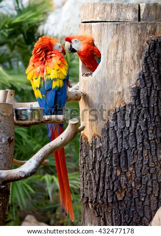 Colorful macaws on the tree  - stock photo