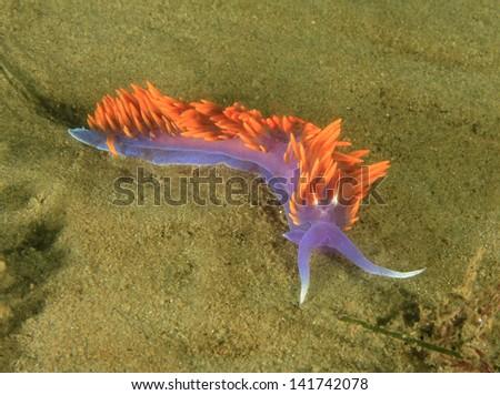 colorful macro close up of spanish shawl nudibranch underwater at Santa Catalina island, Los Angeles - stock photo
